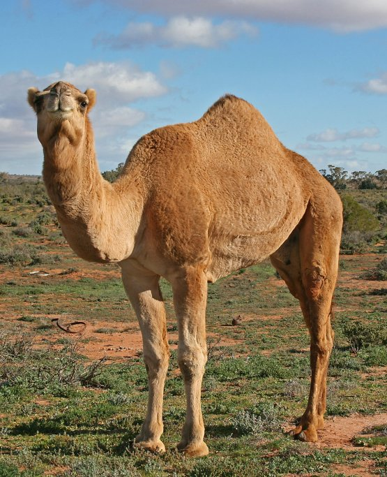 "Carl the Rain Hating Camel says, ""I hate rain. It shouldn't rain today. It had better stay away or I will be very angry."""